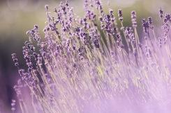 Calming, relaxing, Lavendula angustifolia (Lavender)